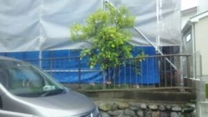 ミカンの木